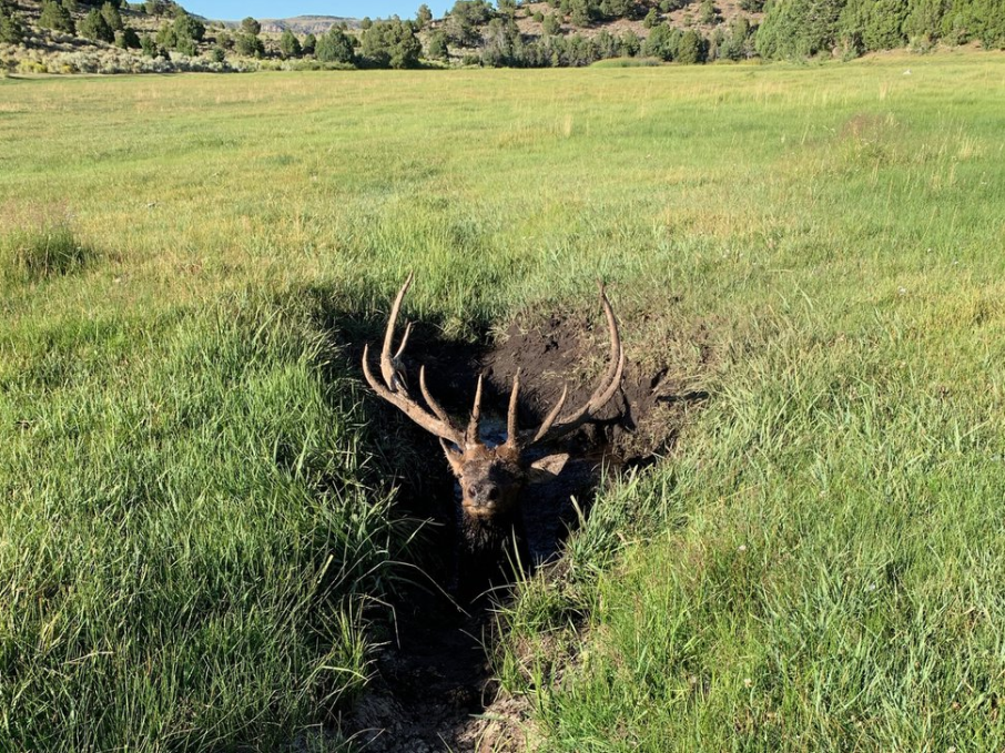 Elk stuck in mud hole