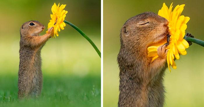 Squirrel smelling a flower