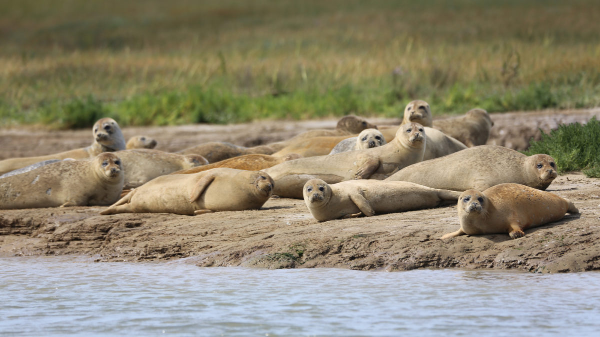 Thames seals making a comeback